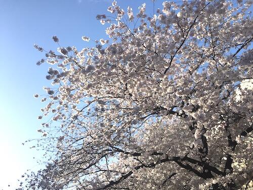 cherry_blossom_viewing_tokyo_toyoko_area_2017_06