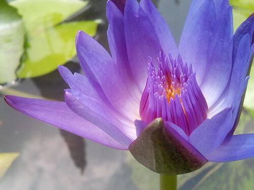 lotus-2366897_640