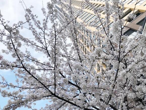 中目黒桜満開2018
