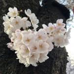2018年の桜は早咲き。お花見散歩@中目黒