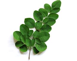 img_moringa_leaf