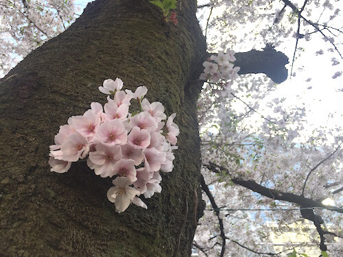 cherry_blossom_viewing_tokyo_toyoko_area_2017_05