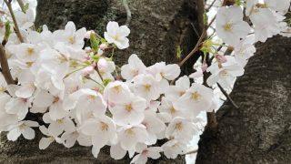 お花見 たまプラ