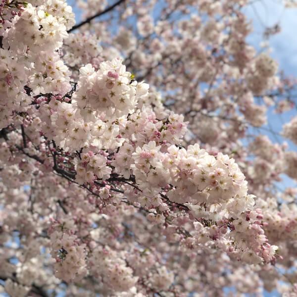 【お花見】桜満開2019@新宿御苑